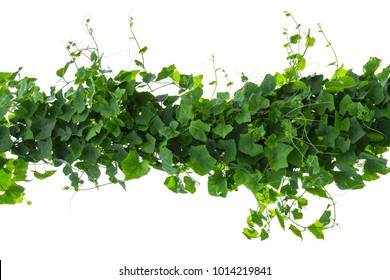 vine plant isolated on white background. Clipping path