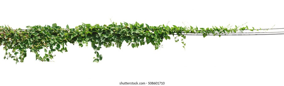 Vine plant, Ivy leaves on poles isolated on white background
