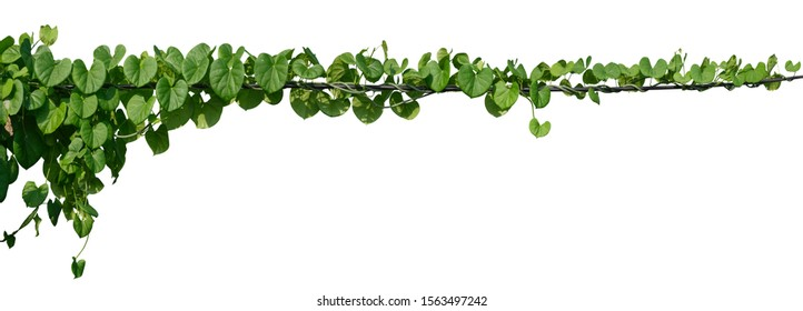 vine plant jungle, climbing isolated on white background. Clipping path