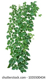 vine plant jungle isolated on white background. Clipping path