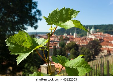 Vine plant with Old Prague panorama on background. Czech Republic.