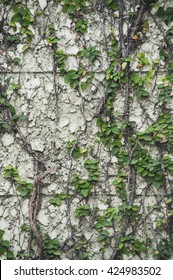 Vine plant on the old wall.