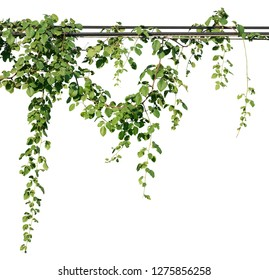 Vine plants, Greenery leaves isolated on white background have clipping path