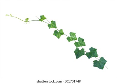 vine plants, ivy leaves isolated on white background, clipping path included.