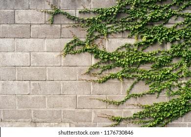 Vine plants on the fence