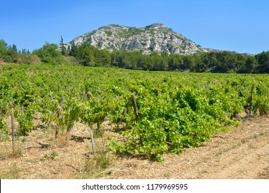 Vine in the range of the Alpilles, a small range of low mountains in Provence, southern France, located about 20 km (12 mi) south of Avignon.