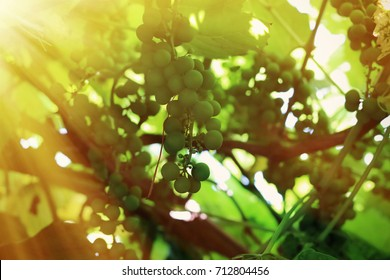 A vine with ripening fruits in the sun.