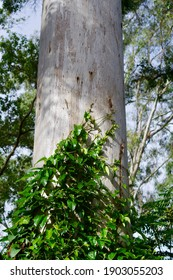 Vine scrambles up the side of a forest giant at Imbil State Forest