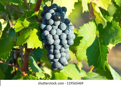 Vine from South of France