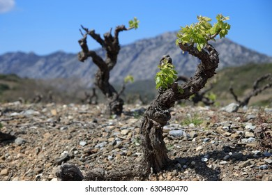 Vine in spring, Fenouilledes, Pyrenees orientales  in south of France