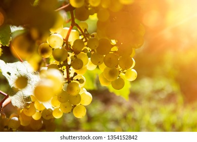 vine stock with ripe white grapes at end of summer