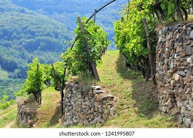 Vine Terrace in Wachau, Austria