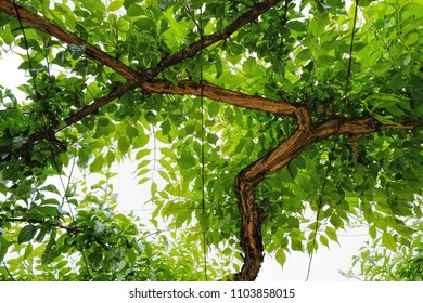 vine tree details background