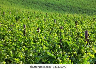 Vine in Tuscany, Italy, Europe