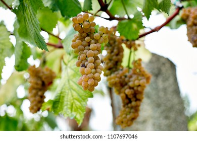 Vine in a vineyard in autumn - white wine grapes during growth