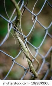 vine woven in fence - portrait