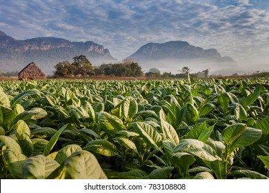 Vineales, Cuba  tobacco plantation on a foggy morning with lush green leaves and drying house on horizon