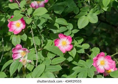 Vinegar Rose - Rosa gallica - apothecary's rose