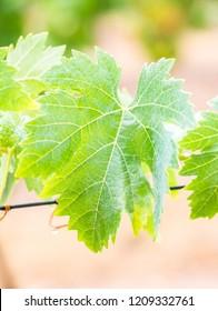 Vines after rain in a vineyard in Alentejo wine region, Portugal