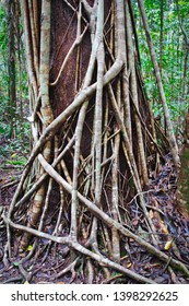 Vines cover a tree in Daintree Rainforest, Queensland, Australia