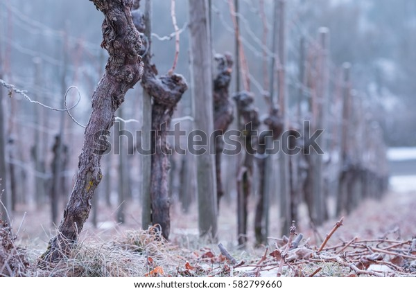 Vines with gnarled bark in a vineyard and cold winter