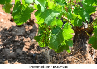 Vines, grapes, wine box, Costa Blanca - Spain