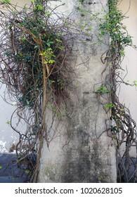 Vines of Ivy Climbing a Cement Pillar