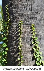 Vines on palm tree