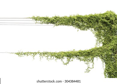 Vines on poles, plant isolated on white