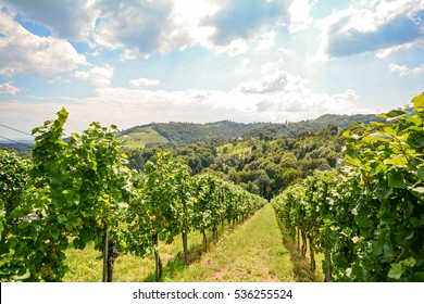 Vines in a vineyard in late summer - Hilly agricultural landscape at the wine road
