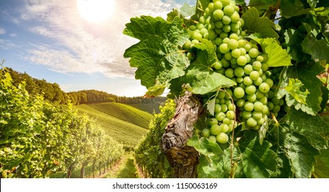 Vines in a vineyard near a winery in the evening sun, White wine grapes before harvest