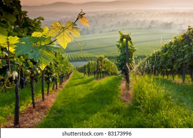 Vines in a vineyard in summer