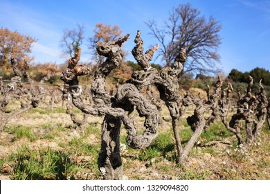 vines at winter time
