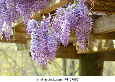 Vines of wisteria hanging off a wood pavilion