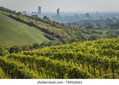 The vineyard above the Austrian capital Vienna under the Kahlenberg peak.