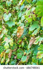 The vineyard is affected by fungal disease, downy Mildew, false mildew ( Plasmopara viticola )