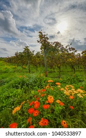 Vineyard after grape harvest with typical flowers on field in autumn