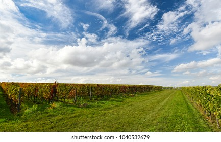 Vineyard after harvest in fall