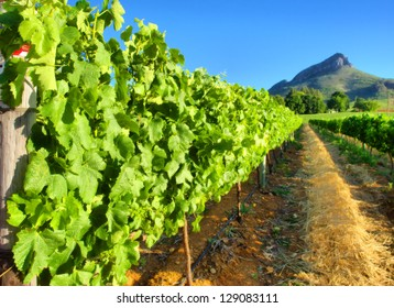 Vineyard against awesome mountains - close view. Shot near Stellenbosch, Western Cape, South Africa.