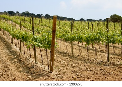 Vineyard in Alella, Catalonia, Spain