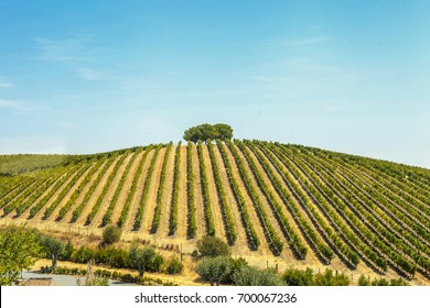 Vineyard, Alentejo, Portugal