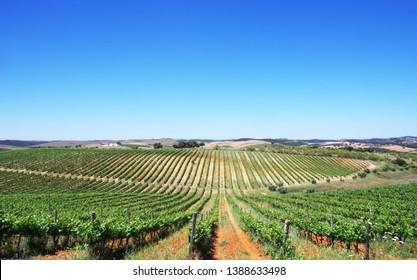 Vineyard at Alentejo region,south of Portugal