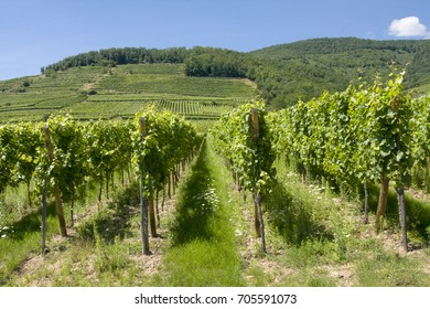 Vineyard in Alsace France