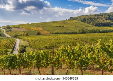 Vineyard in Alsace near Dambach la Ville, France.Autumn