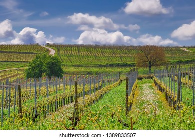 vineyard in alsace panorama, france