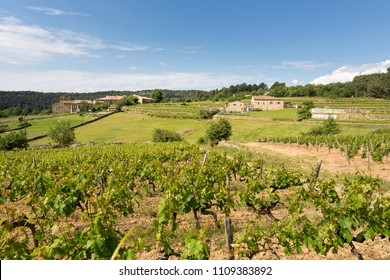 Vineyard in the Ardeche district in France, Europe