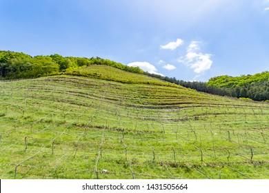 Vineyard in Ashikaga City, Tochigi Prefecture