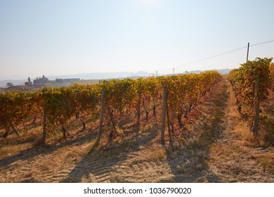 Vineyard in autumn with brown leaves, backlight in a sunny day