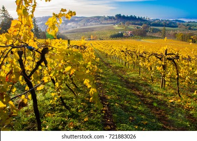 A vineyard with autumn colored leaves  in the Willamette Valley near Salem, Oregon.  A bank of fog is partially burned off.