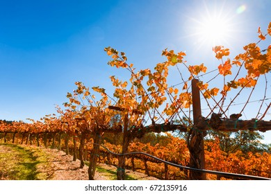 Vineyard in autumn with fall color. Rows of terraced grapevines under a blue sky and blazing sun with intentional lens flare. Location: California wine country. Copy space